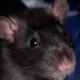 ratty1